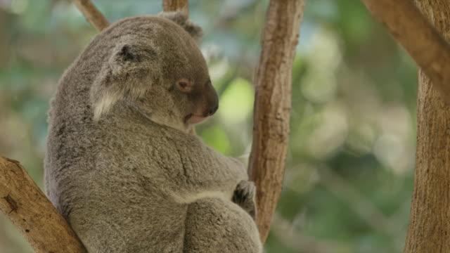 Koala sits in tree and yawns