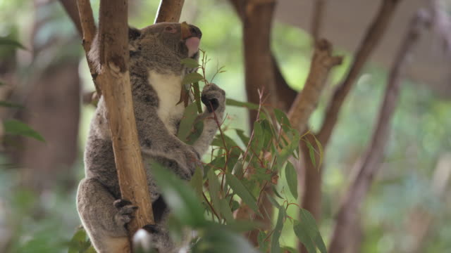 koala sits in tree eating eucalyptus leaves - new south wales stock videos & royalty-free footage
