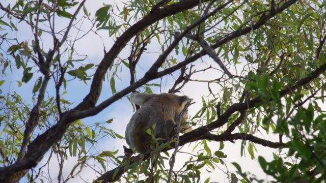 koala skips on a tree branch - plant bark stock videos and b-roll footage