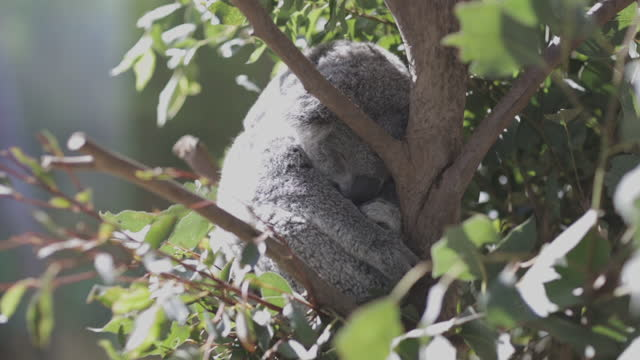 koala sleeping in sydney zoo - one animal stock videos & royalty-free footage