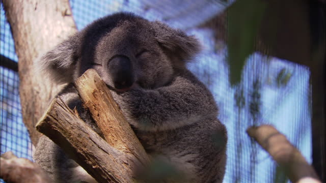 ms koala (phascolarctos cinereus) sleeping on branch in zoo, sydney, new south wales, australia - zoo stock videos & royalty-free footage