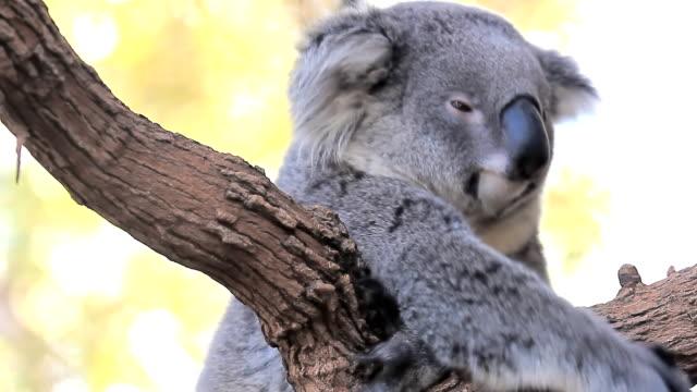 コアラます。