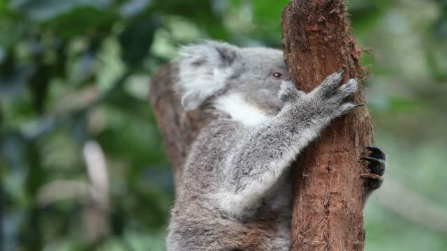 vídeos de stock, filmes e b-roll de coala - marsupial