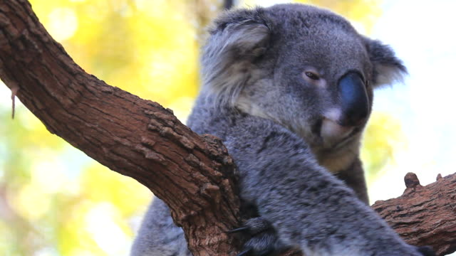 koala - animal hair stock videos & royalty-free footage