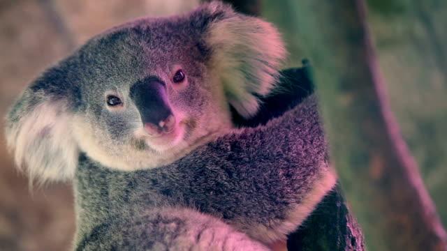 vídeos de stock, filmes e b-roll de coala contato visual. - marsupial