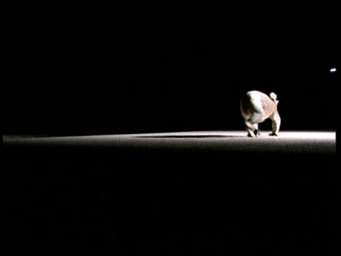 mcu koala walking along road at night - night vision stock videos and b-roll footage