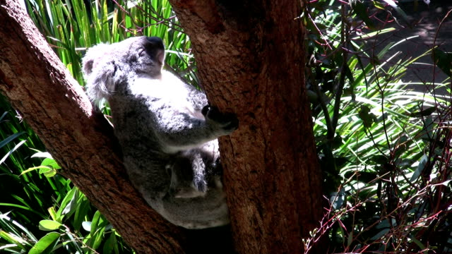 koala with young - female animal stock videos & royalty-free footage