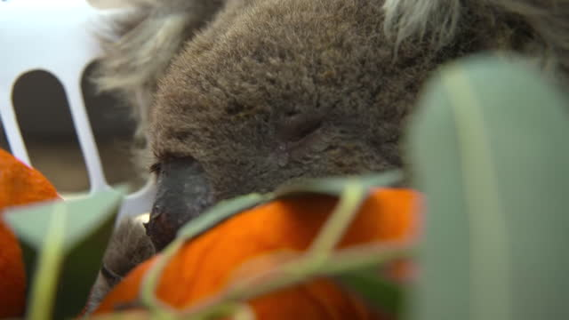 """koalas rescued from bushfires on kangaroo island in a sanctuary - """"bbc news"""" stock videos & royalty-free footage"""