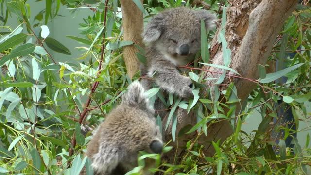 koalas - two animals stock videos & royalty-free footage