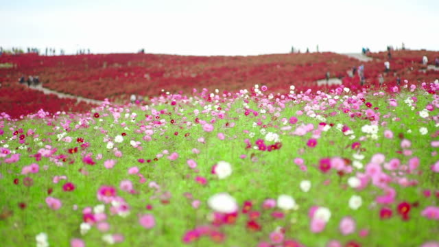 kochia and cosmos flower field in hitachi seaside park - month stock videos & royalty-free footage