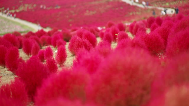 Kochia Hill in Autumn at Hitachi Seaside Park