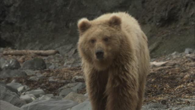 a kodiak bear lopes along a rocky shoreline, prowls, then stands on its hind legs. - grizzlybär stock-videos und b-roll-filmmaterial