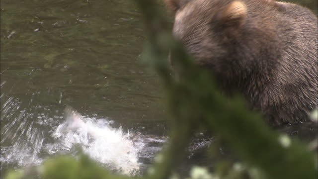 a kodiak brown bear grabs and eats a salmon in a stream. - walking in water stock videos & royalty-free footage