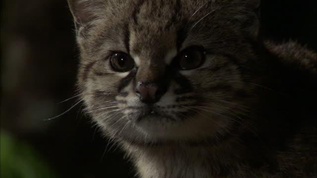 vídeos de stock, filmes e b-roll de kodkod in forest at night, chile - gato não domesticado