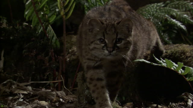 vídeos de stock, filmes e b-roll de kodkod yawns in forest at night, chile - gato não domesticado