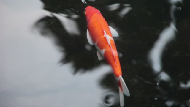 koi 001 - hd 30p - one animal stock videos & royalty-free footage