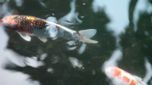 koi 002 - hd 30p - medium group of animals stock videos & royalty-free footage