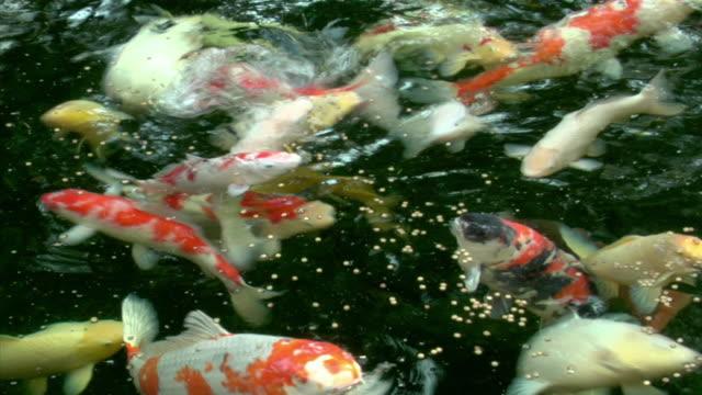 CU, ZO, MS, Koi Carp feeding swimming in pond, Beverly Hills, California, USA