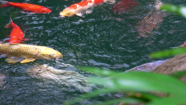 4k koi carp fish in the clear pond - oriental garden stock videos and b-roll footage