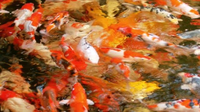 4k koi carp fish in the clear pond - testa di koi video stock e b–roll