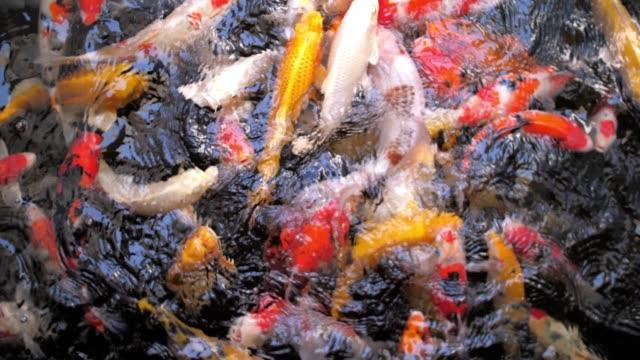 vidéos et rushes de carpe koi poisson, ralenti - nourrir