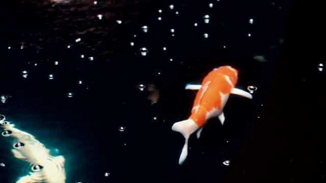 koi carp fish - koi carp stock videos & royalty-free footage