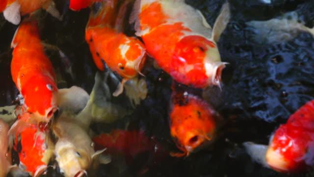 4 k koi-karpfen fisch - zuschnappen stock-videos und b-roll-filmmaterial