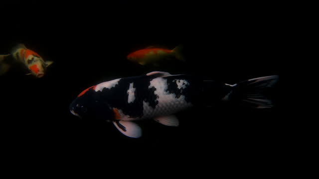koi carp swimming in a fish tank filmed from an underwater perspective, england, united kingdom - freshwater stock videos & royalty-free footage