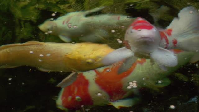 cu, zi, zo, pan, koi carp swimming in pond, beverly hills, california, usa - füttern stock-videos und b-roll-filmmaterial