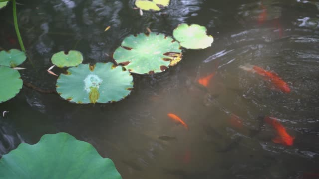 koi carp - lily stock videos & royalty-free footage