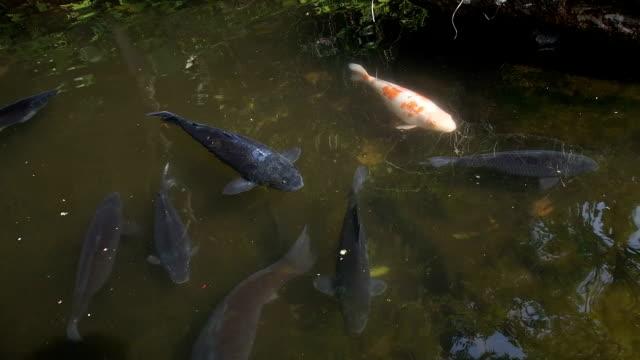 koi carp - aquatic organism stock videos & royalty-free footage