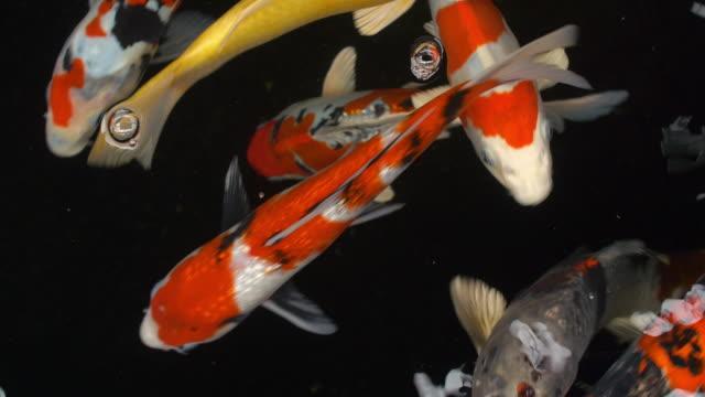 koi fish (nishikigoi.) 4k - koi carp stock videos & royalty-free footage