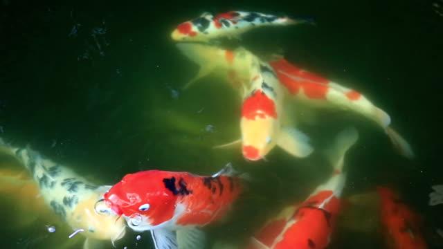 Koi Fish Carp