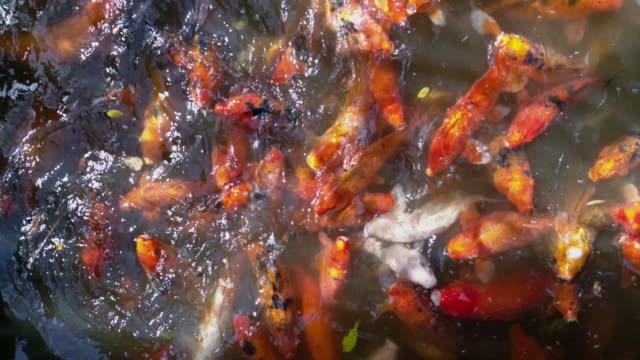 vídeos y material grabado en eventos de stock de koi fish during feeding in 4k - grupo de animales