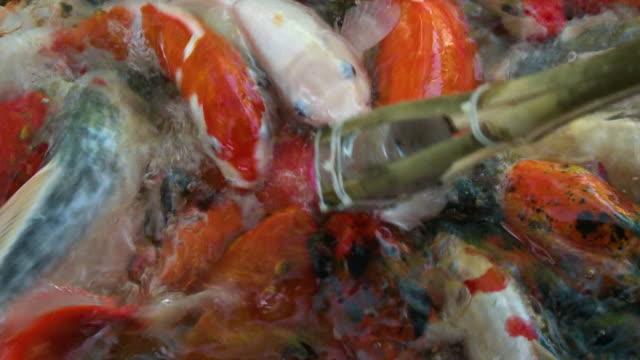 koi fish eating from wooden stick - pälsteckning bildbanksvideor och videomaterial från bakom kulisserna