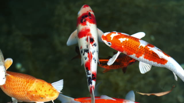 koi fish, fancy carp are swimming in above - pond stock videos & royalty-free footage