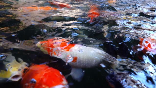 4K: Koi fish, Fancy Carp are swimming in above