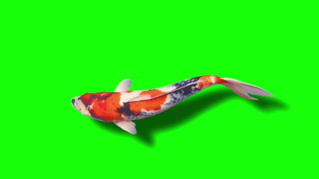 koi fish (loopable) grüne hintergrundanimation - comic kunstwerk stock-videos und b-roll-filmmaterial