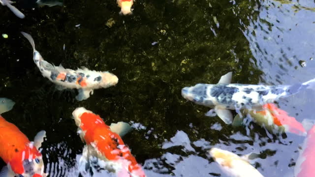 koi fish in a natural pond with clear and clean water. - pond stock videos & royalty-free footage