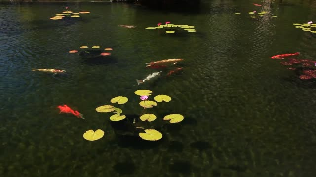 koi fish in a pond - 44373b - lily stock videos & royalty-free footage