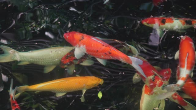 Koi Fish in Fish Tank