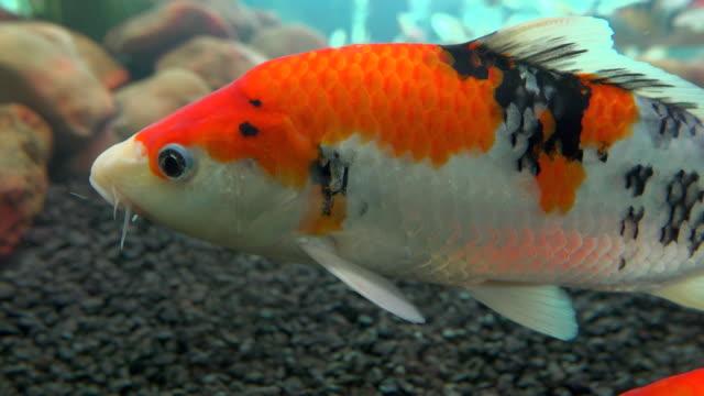 koi fish in glass fish tank - koi carp stock videos & royalty-free footage