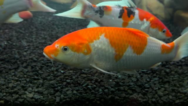 vídeos de stock, filmes e b-roll de peixes do koi no vidro do aquário - pequeno lago
