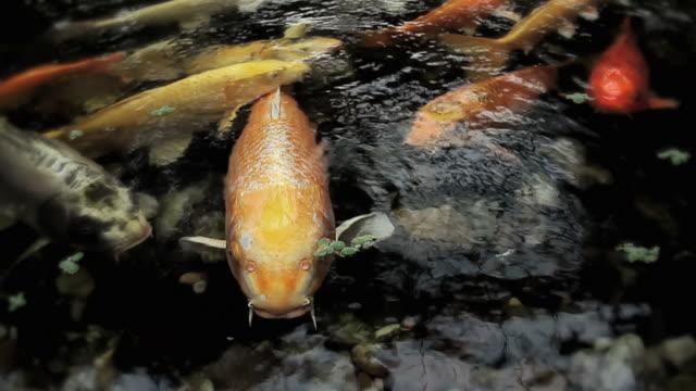 cu koi fish in pond, potsdam, brandenburg, germany - testa di koi video stock e b–roll