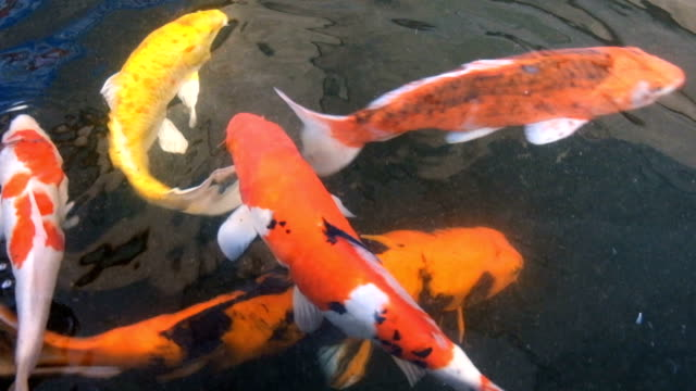 koi fish in pond - standing water yard stock videos & royalty-free footage