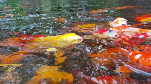koi fish in pond with waterfall - standing water yard stock videos & royalty-free footage