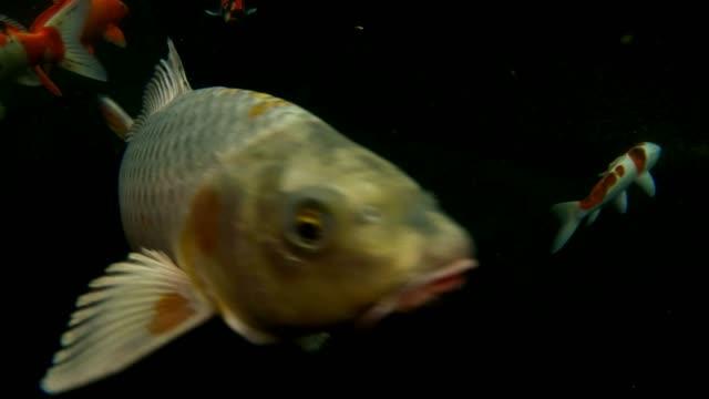 水中の鯉の魚 - 水中カメラ点の映像素材/bロール