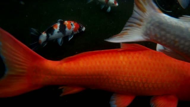 koi fisk i vattnet - akvatisk organism bildbanksvideor och videomaterial från bakom kulisserna