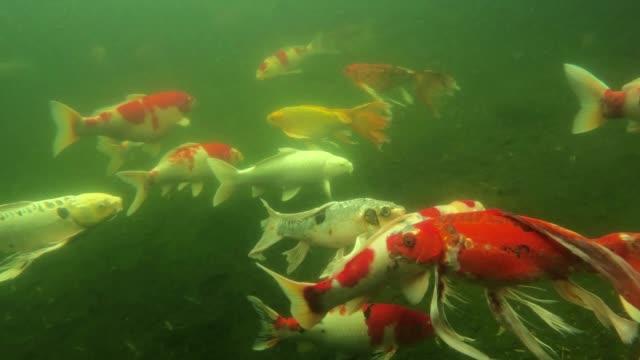 vídeos de stock, filmes e b-roll de peixe koi na água - pequeno lago