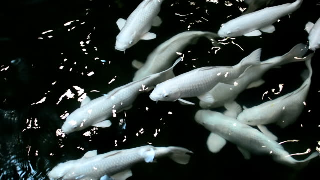 koi pesce in acqua - testa di koi video stock e b–roll